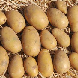 Sklizene brambory_DSC_7133